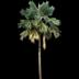 Palmenpflege auf Teneriffa will gelernt sein