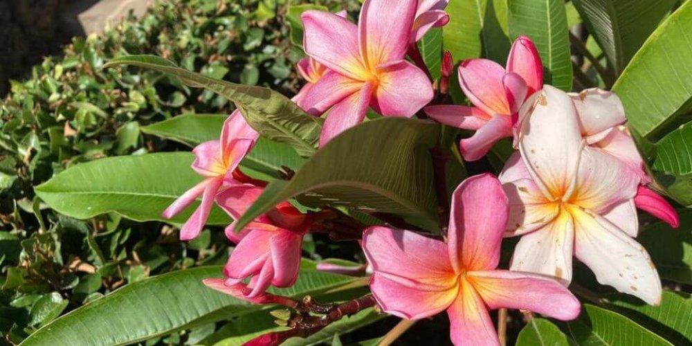 Fragrancia seductora para el jardín de Tenerife