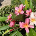 Duftende Exotik für den Teneriffa-Garten